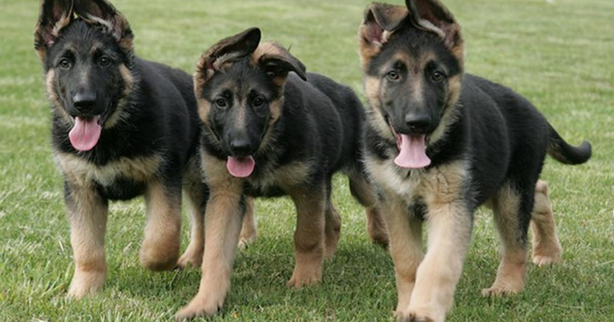 Neutering Of German Shepherd Dogs