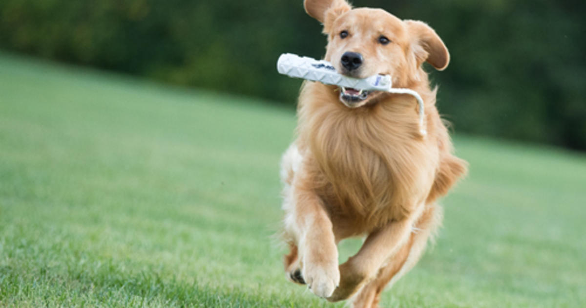 Golden Retriever Breeders Can Use Dna Test To Reduce The Risk Of