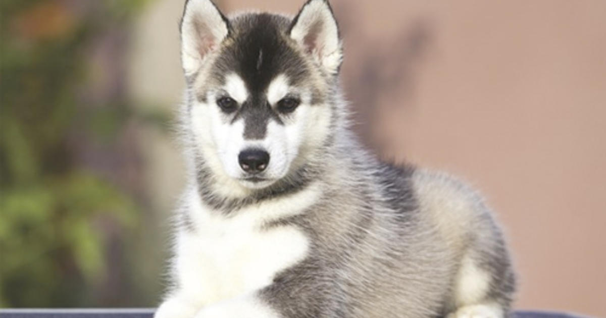 Bladder Dribble in Siberian Husky Puppies | Purina® Pro Club®