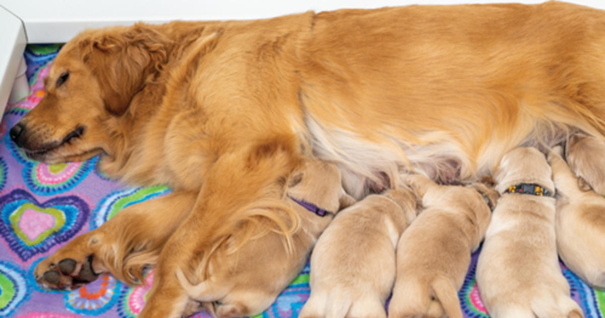 Whelping Box Tips For Nesting Dogs