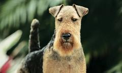 Dazzle a Welsh Terrier, Wins Best in Show at Montgomery County