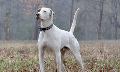 National Championship for Field Trialing Bird Dogs