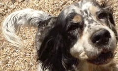 Star, My 13 year-old Llewellin Setter