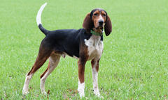 Treeing Walker Coonhound Named 'Bank' Is the 2019 PKC World Champion