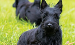 beameups-star-studded-scottish-terriers