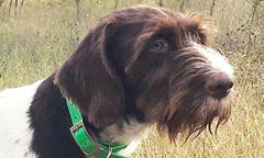 german-wirehair-named-belle-wins-gwpca-national-field-championship
