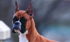 boxer-spring-breed-update-500x300