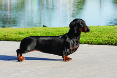 Genetic Discovery Finds Dachshunds' Short-Leg Phenotype Linked To Ivdd