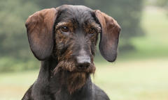 dachshund-spring-breed-update-2019-500x300