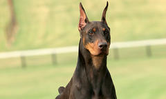 doberman-article-fall-update-list-image