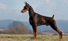 doberman-pinscher-update-2019