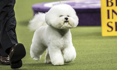 Purina Pro Plan-Fed Dogs Sweep 2018 Westminster Kennel Club Dog Show