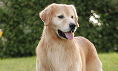 golden-retriever-breed-update-2018-list