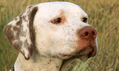 'Jack,' a Pointer, Wins National Field Trial Championship