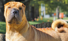 Chinese Shar-Pei Named 'Joan' Is No. 1 Non-Sporting Dog