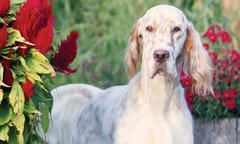 'Joanah' Is No. 1 English Setter for Two Straight Years