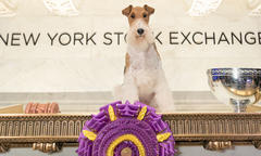 Wire Fox Terrier 'King' Rules the Westminster Ring