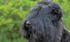 Black Russian Terrier 'Oli' Is No. 1 in All Systems