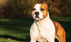 No. 1 AmStaff Is 'Pancho,' a Top Terrier
