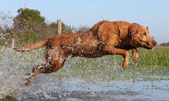 Keep Retrievers at a Healthy Weight to Help Prevent Joint Disease
