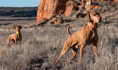 The Vizslas of Red Mesa Kennel