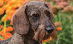 Natural Star, 'Ringo,' Is No. 1 Wirehaired Dachshund