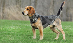 Top Winner in Gundog Brace, SPO & Large Pack Trials Is Beagle Named 'Romo'