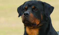 rottweiler-spring-breed-update-2019-500x300