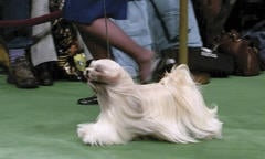 Long-haired dog being shown