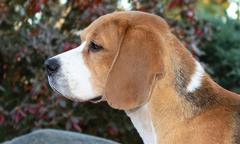 'Tam,' a 15-Inch Beagle, Is No. 1 for Two Straight Years