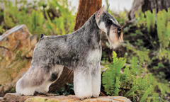 Top-Winning Female Miniature Schnauzer in Breed History Is 'Twink'