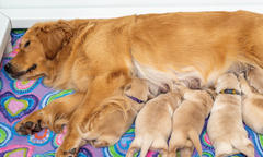 How a Whelping Box Nurtures the Maternal Nesting Instinct