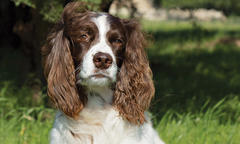 English Springer Spaniel Named 'Zachary'