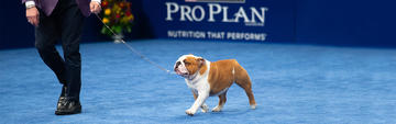 pro-club-bulldog-thor-wins-best-in-show-at-national-dog-show