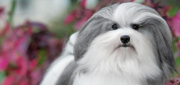 bono-is-the-top-winning-havanese-in-breed-history