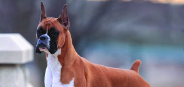 boxer-spring-breed-update-950x450