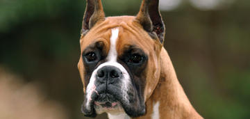 Image of Boxer