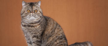 Stem-Cell Therapy May Help Cats Resistant to Traditional Treatment for FCGS