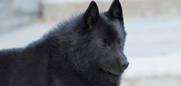 Schipperke Named 'Colton' Sets Breed Record with 32 Bests in Show