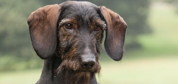 dachshund-spring-breed-update-2019-950x450