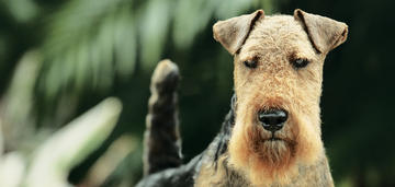 Dazzle,' a Welsh Terrier, Is the No. 1 Terrier