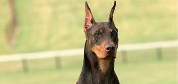 doberman-article-fall-update-hero-image