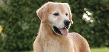 golden-retriever-breed-update-2018-header