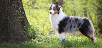 australian-shepherd-grace-sets-best-in-show-breed-record
