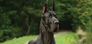 great-dane-breed-update-2018-header