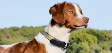 Brittany Named 'Hank' Wins National Amateur All-Age Championship