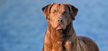 'Hank,' a Chesapeake Bay Retriever, Wins Bests in Show and Is a Master Hunter