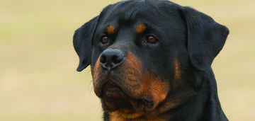 rottweiler-spring-breed-update-2019-950x450