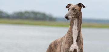 sos-saving-sighthounds-from-anesthetic-drug-death