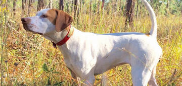 Thrill Me, a Pointer, Wins National Open Shooting Dog Championship